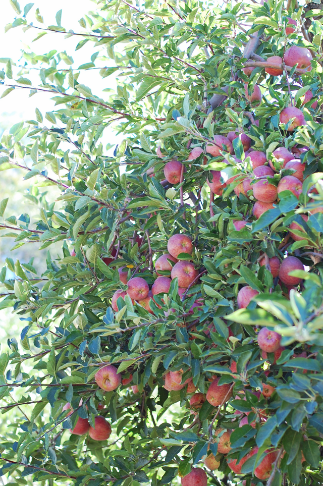 Riley's Apple Farm